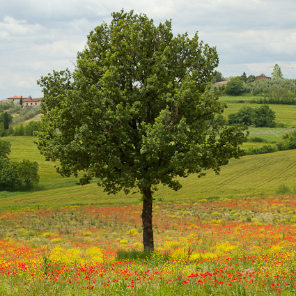 tree in Tuscany