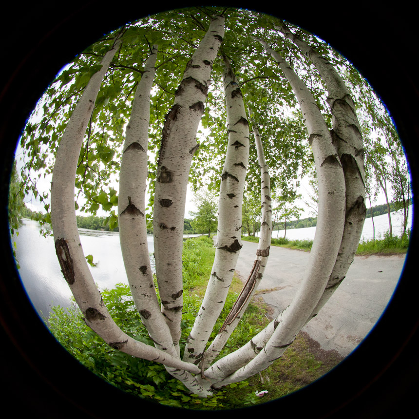 fisheye birch trees