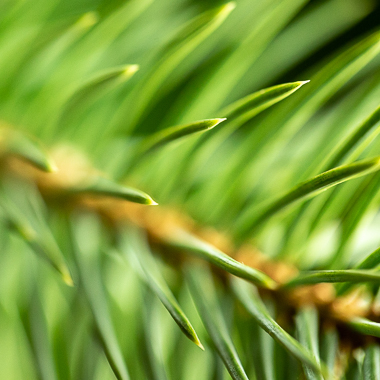 spruce needles at f4