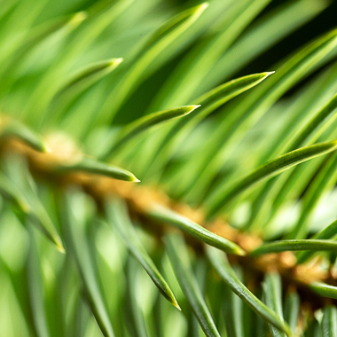 spruce needles at 5.6