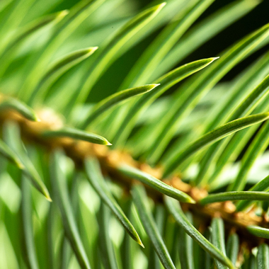 spruce needles at f8