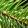 spruce needles at f16